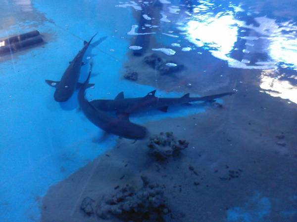 купить акул